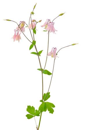 aquilegia: Aquilegia vulgaris flower isolated on white