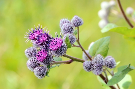 burdock: Flowering Great Burdock (Arctium lappa), close up view Stock Photo