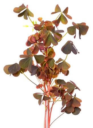 oxalidaceae: Oxalis triangularis flowers isolated on white background Stock Photo