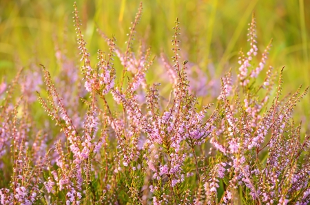Calluna vulgaris flowers on meadow photo