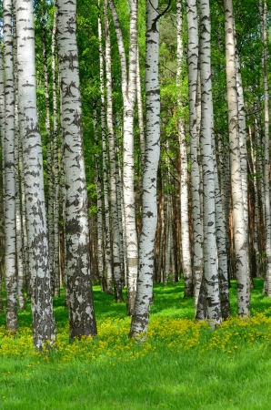 Birch trees in the wood in the spring