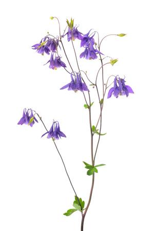 bell shaped: Aquilegia vulgaris flower isolated on white background Stock Photo
