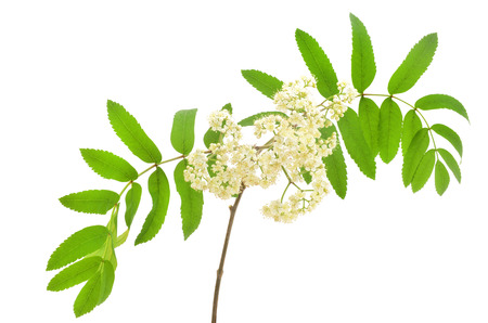 sorbus aucuparia: Blossoming Sorbus aucuparia (mountain ash) isolated on a white background Stock Photo