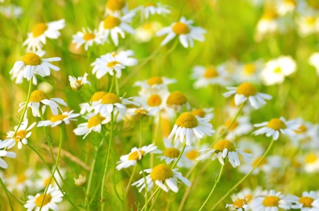 Matricaria chamomilla flowers on meadow,  selective focus Stock Photo