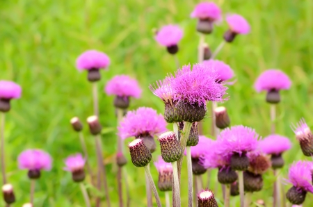 Cirsium arvense flowers on meadow, close up view photo