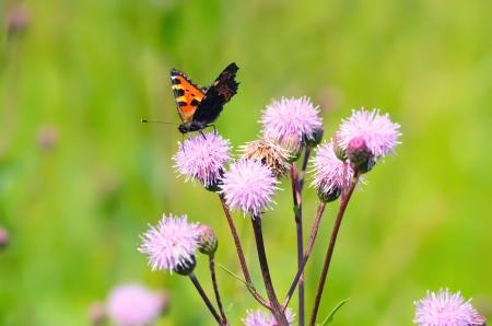 Aglais urticae butterfly on Cirsium arvense flowers photo