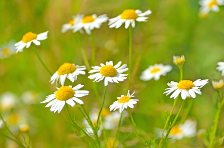 chamomilla: Matricaria chamomilla flowers on meadow, close up view, selective focus