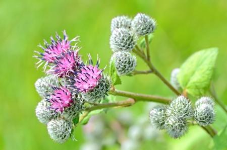 beggar's: Flowering Great Burdock (Arctium lappa), close up view Stock Photo