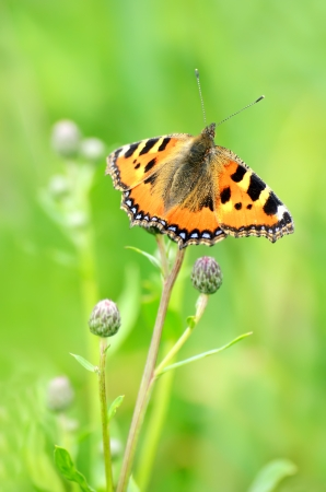 Aglais urticae butterfly on a stalk of plant photo