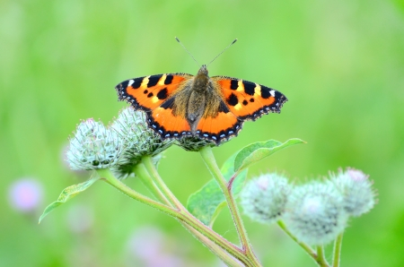 Aglais urticae butterfly on Great Burdock (Arctium lappa) plant photo