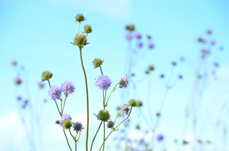 Succisa pratensis flowers on blue sky background