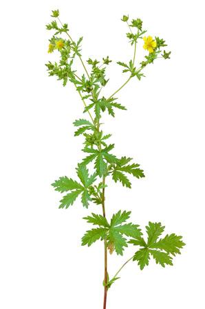 fiore isolato: Potentilla erecta fiore isolato su sfondo bianco