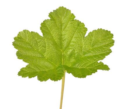 rubus: Rubus chamaemorus leaf isolated on white background Stock Photo