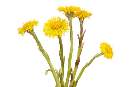 homoeopathic: Tussilago farfara flowers isolated on white background Stock Photo