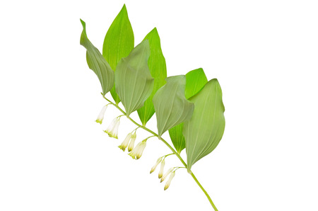Polygonatum flower isolated on white background