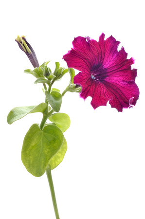 Purple petunia flower isolated on white background photo
