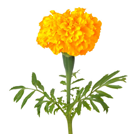 tagetes: Tagetes flower isolated on white background
