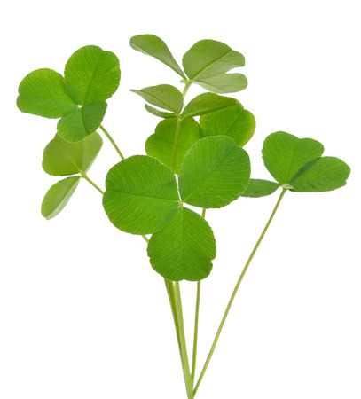 creeping woodsorrel: Oxalis acetosella (wood sorrel) plant isolated on white background Stock Photo