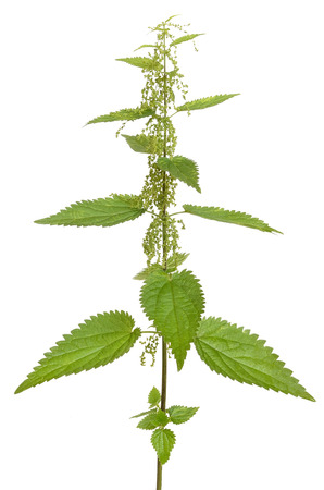 urtica: Urtica urens (Stinging nettle) plant isolated on white background