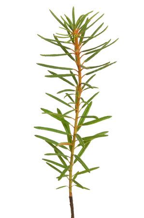 palustre:  Ledum palustre (Rhododendron tomentosum) plant isolated on white background
