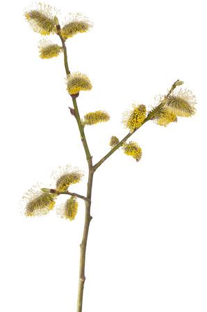 salix: Salix branch isolated on white background