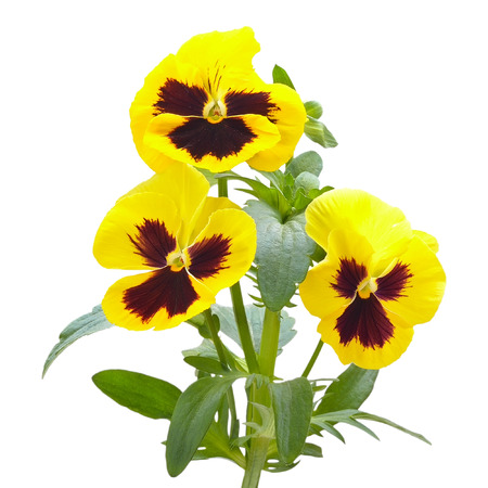 Yellow viola flowers isolated on white background