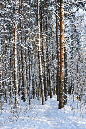 flurry: Pine tree trunks covered with snow in winter park