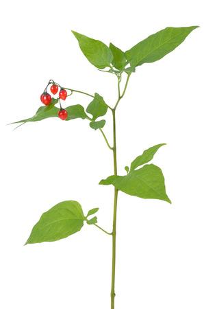 deceptive: Poisonous Solanum dulcamara branch, isolated on white background