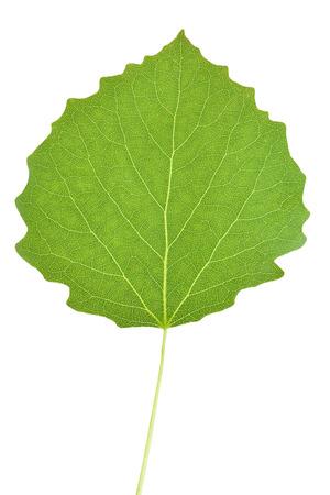 aspen leaf: Aspen tree leaf isolated on white background