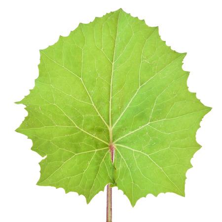 Tussilago farfara leaf isolated on white background Stock Photo