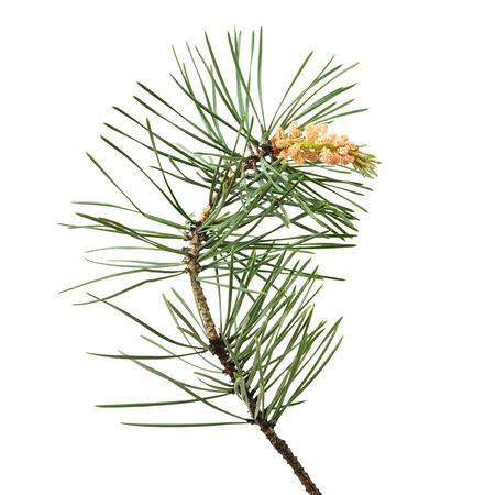 Pinus sylvestris branch isolated on white background