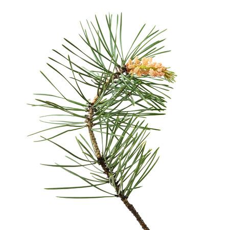 Pinus sylvestris tak die op een witte achtergrond Stockfoto