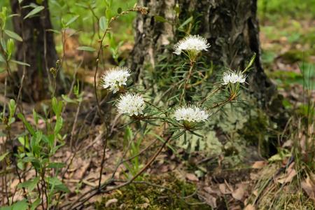 palustre: Blossoming Ledum palustre plant in forest