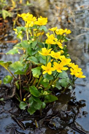 palustris: Marsh Marigold (Caltha palustris) flowers in a pond