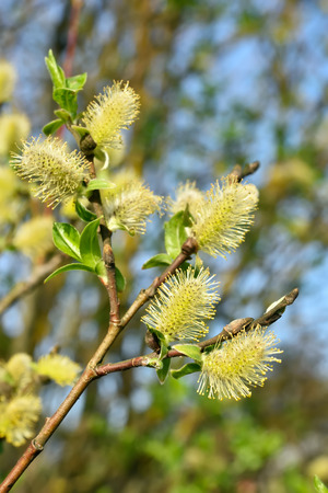salix: Blooming branches of salix tree, outdoor, close up view Stock Photo