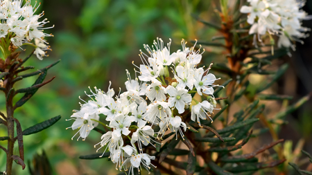 palustre: Ledum palustre (Rhododendron tomentosum) plant in forest, close up view Stock Photo