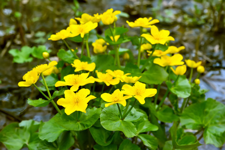 palustris: Marsh Marigold (Caltha palustris) flowers Stock Photo