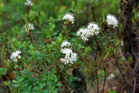 palustre: Ledum palustre (Rhododendron tomentosum) plant in forest