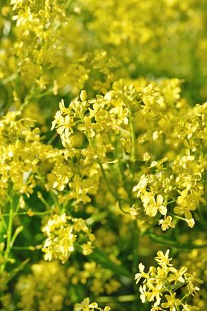 Barbarea vulgaris flowers, close up, selective focus
