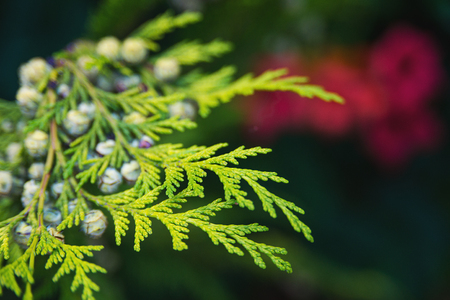 thuja occidentalis: Green thuja tree branches close up over the blurred nature background. Spring Background with bokeh. Stock Photo