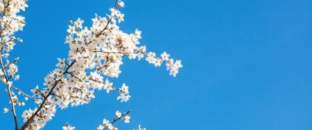 sky brunch: White tender blooming cherry brunch on the blue sky background.