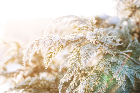 Frozen thuja branches. Winter background. Copyspace.