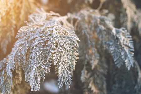 Frozen thuja branches. Winter background. Copyspace.