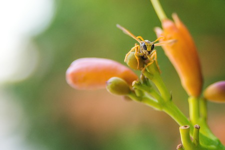 A wasp on a orange flower and over blur background. 写真素材