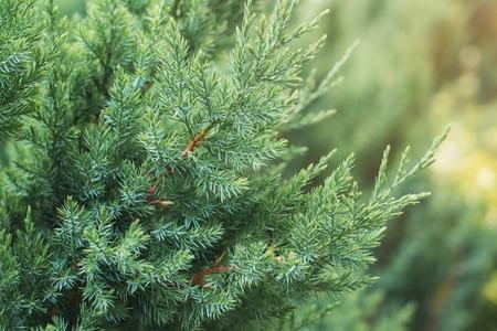 Cypress tree branch in a garden. Фото со стока