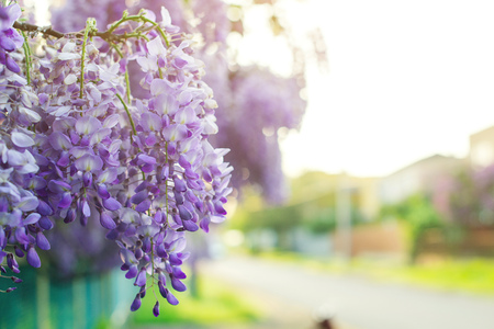 Wisteria flowers, floral background, a copyspace