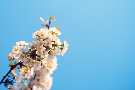 Cherry tree branch on blue sky background. Copy space. Spring coming. Flowers of the cherry blossoms, close up. Spring weather. Cherry blossoming time