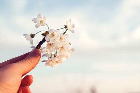Cherry blooming branch in a hand over sky background. Spring come. Cherry blossom time. Spring weather. Beauty, lifestyle and season concept