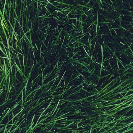 Green grass surface, top view. Spring grass close up. Lush grass background.