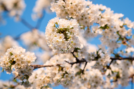 White cherry flowers. Beautiful spring flowering trees. Background with blooming flowers in sunny spring day